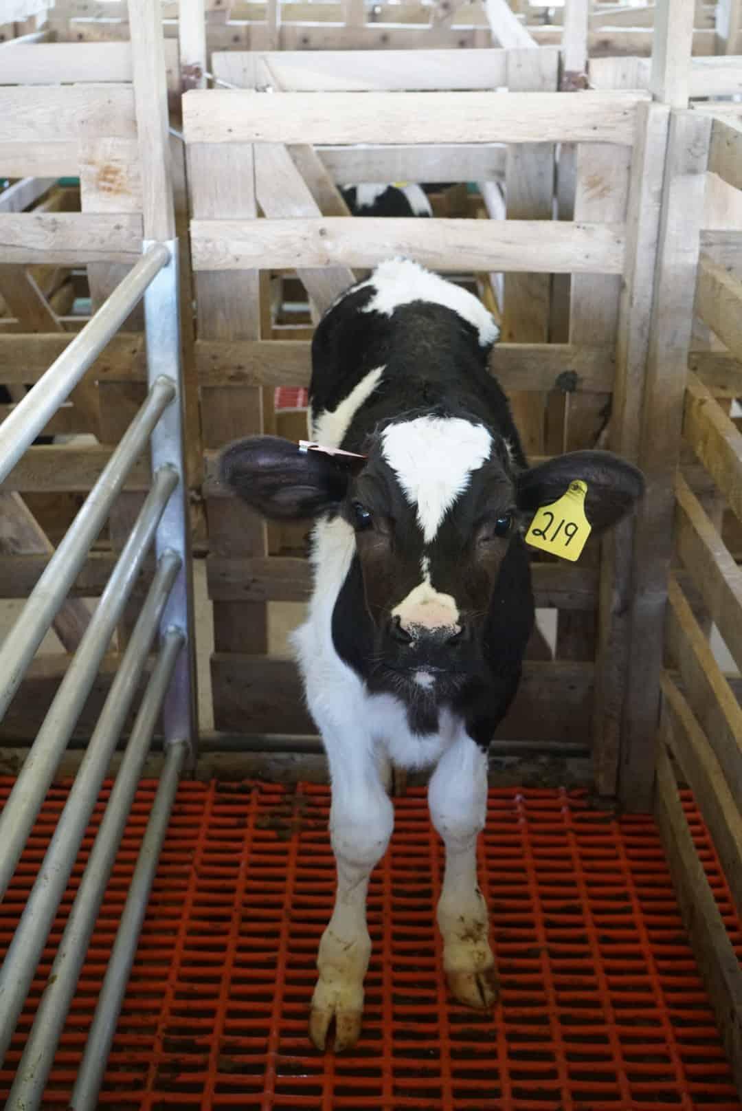 veal calf in pen